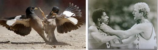 Other Bird Fights
