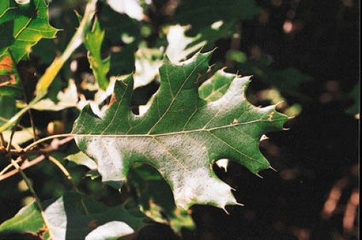 Leaf of the Black Oak