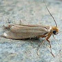 YES, THIS IS A CLOTHES MOTH -- FAMILY TINEIDAE