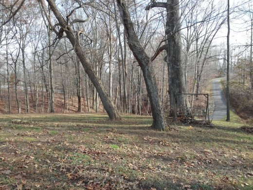 The damaged oak is so massive it is causing the Sassafras and Wild Black Cherry near it to lean away from it to get light.