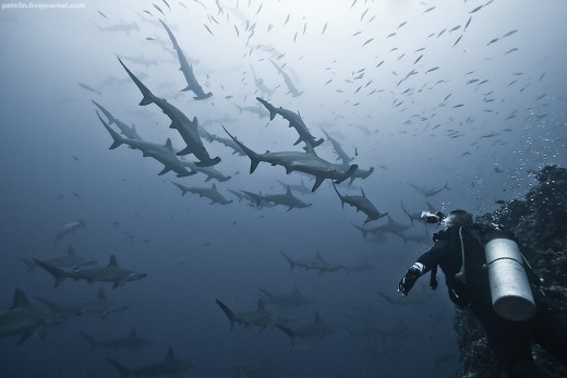 School of hammerhead sharks at Alcyone, Cocos Island, Costa Rica -- depth of 33 meters. (July 14, 2007)
