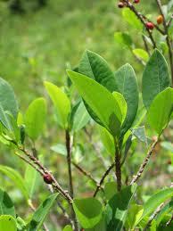 Coca leaf