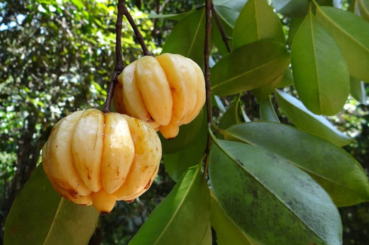Tamarind Tree with Garcinia Cambodia fruits.