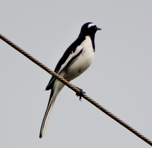 Fauna of Chitrakoot Dham 1 : White Browed Wagtail