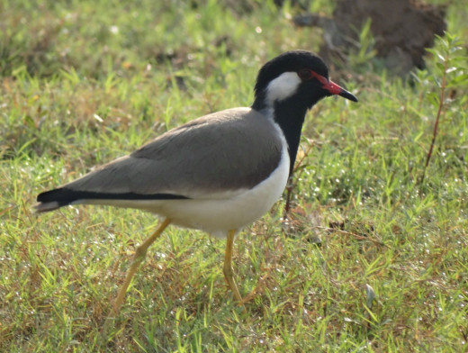 Fauna of Chitrakoot Dham 4 : Red Wattled Lapwing