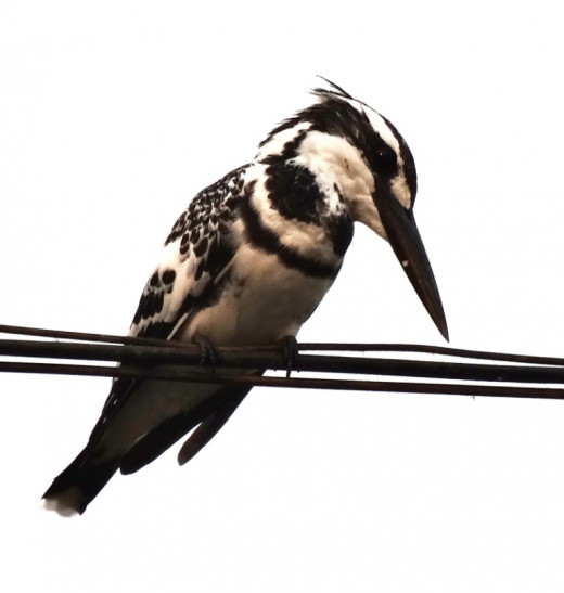 Fauna of Chitrakoot Dham 6 : Lesser Pied Kingfisher