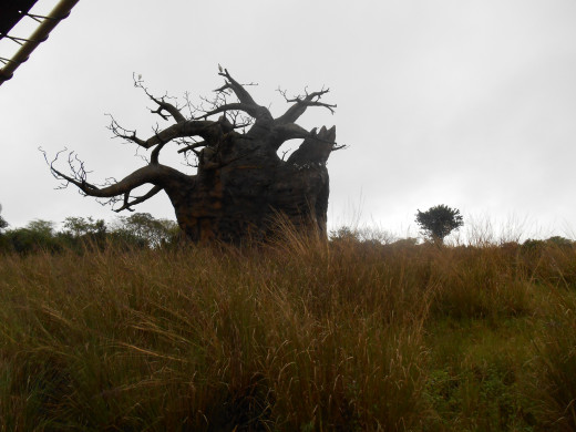 Baobab Tree - I took this picture on Safari