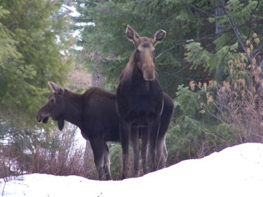 Pair of moose.