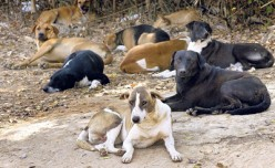 HOW TO TACKLE THE STRAY DOG MENACE?