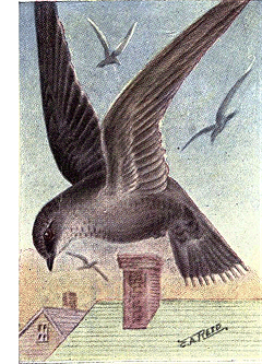 Aside from nesting, a common swift will spend its entire life in the air. Chimney Swift. Source: Chester A. Reed, ''The Bird Book'', 1915. Received from http://www.gutenberg.org/etext/30000. {{PD-US}} Category:Chaetura pelagica
