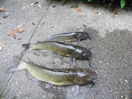 With some basic fishing knowledge you can catch all the catfish you want. You need to know where the catfish are and what bait to use.