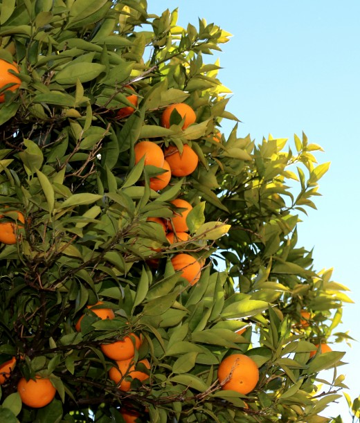 Orange trees are easy to grow in the home garden