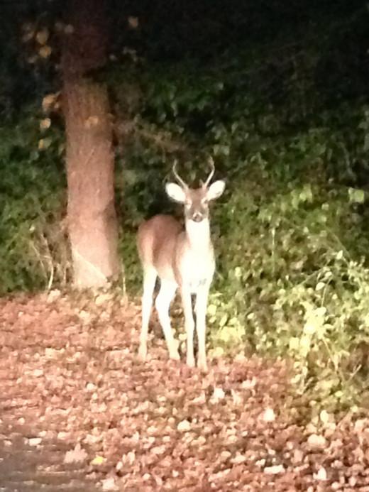 Spike Horn Buck Roaming the Property
