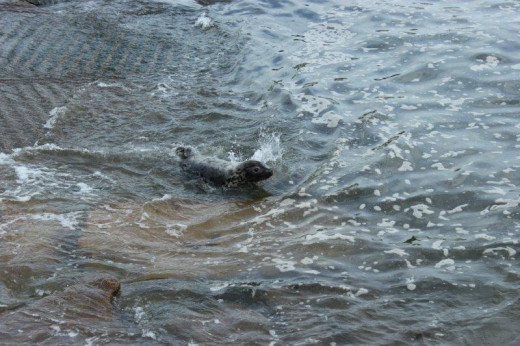 Seal at shore in water.