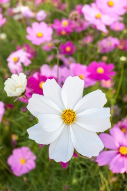 Cosmos are a delight in the garden border!