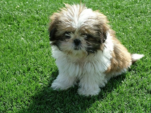 Shih-Tzus are a small dog breed that don't shed that much.