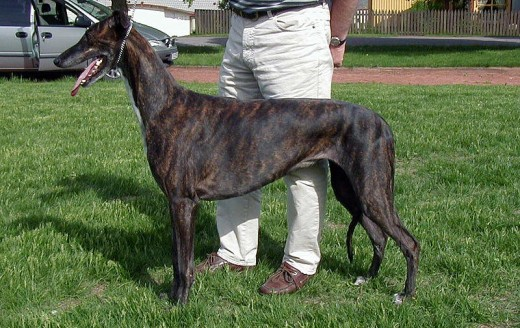 Greyhounds are a mid/large-sized dog breed that don't shed that much.