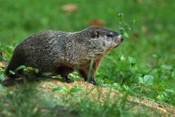 A Ground Hog's Life: Traditions, Hunting, and My Fond Childhood Memories