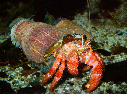 Check Out The Beautiful Hermit Crab In The Above Photo. He's Really Beautiful Isn't He.