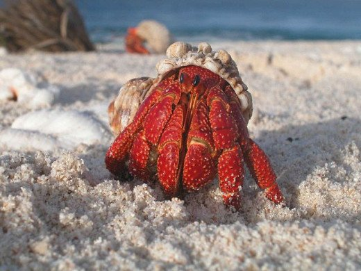 Check Out The Beautiful Hermit Crab In This Photo Emerging From His Shell.