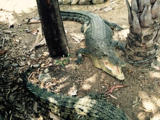 Estuarine Crocodiles