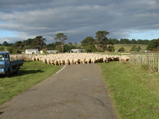 Sheep being mustered near Wanganui