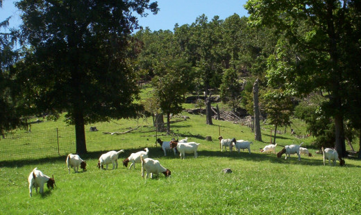 hardy Boer Goats on Pasture