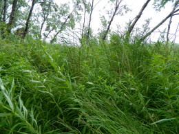 Wind through the rushes