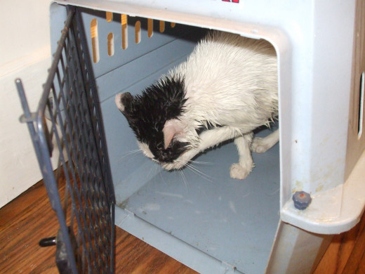 Kitten trying to dry himself after a bath.