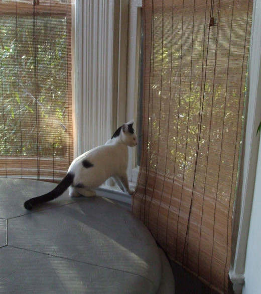Kitten volunteers to open blinds at window.