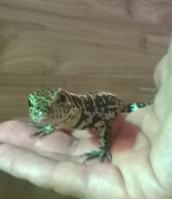 Things You Should Consider Before Getting Tegu
