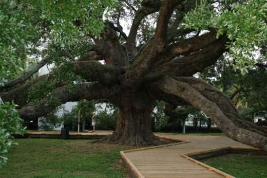 The Largest  Live Oak tree in the Southeastern United States. The Treaty Oak is the centerpiece of the Jessie Ball dUpont park in Jacksonville.