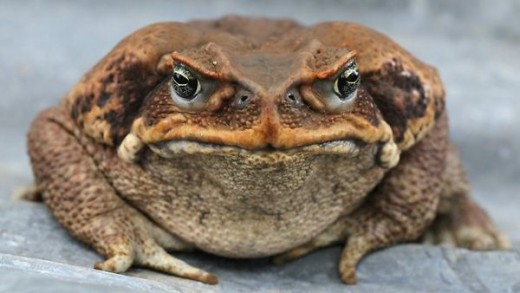 Good Morning Cane Toad