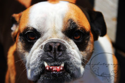 6 things to consider before buying an English Bulldog.