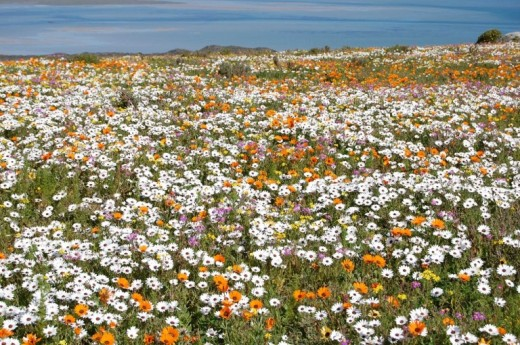 Wild flowers, West Coast, South Africa @ sanparks.co.za