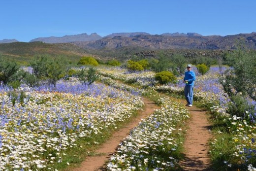 Flower season at Darling, South Coast, South Africa (see source URL)