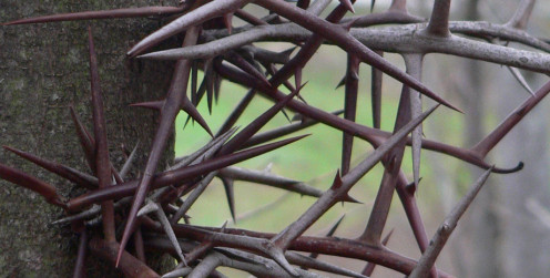 The honey locust (also known as the thorny locust - latin Gleditsia triacanthos) has needle-type thorns on the trunk.