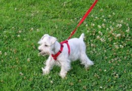 This is my Miniature Schnauzer on her walk.