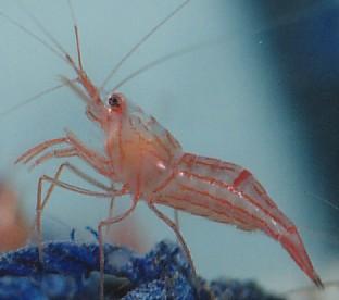 http://seahorsesanctuary.com.au/files/peppermint-shrimp.jpg