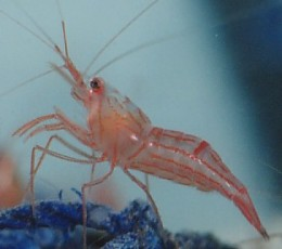 http://seahorsesanctuary.com.au/files/peppermint-shrimp.jpg