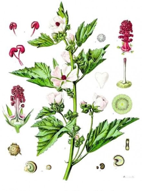 Illustration of the marshmallow plant