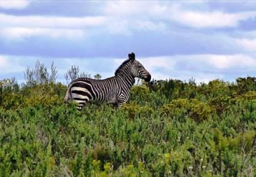Mountain Zebra in Bontebok National Park, Swellendam, South Africa by Proteus at Flickr