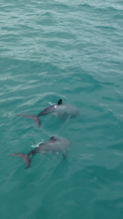 Hector Dolphins - Only 500 in world and they are located off of the Banks Peninsula close to Christchurch, New Zealand