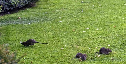 Mum saw a constant stream of rats running across the garden.