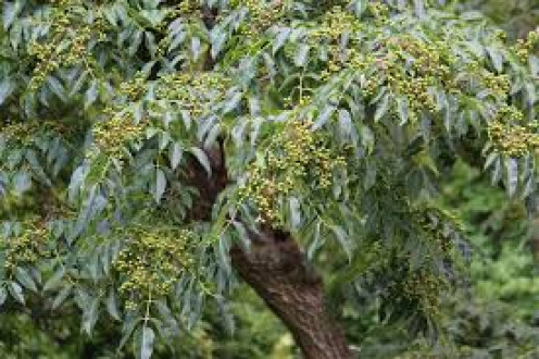 Slingerberry tree