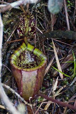 Nepenthes rajah