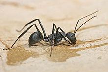 Carpenter Ant (Campanotus schmitzi)