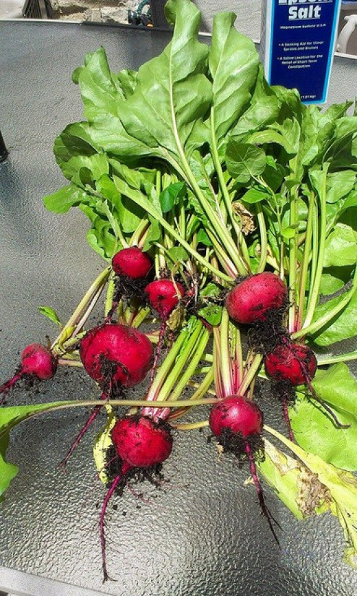"Beet ""Chioggia"" freshly harvested"
