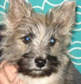 Ollie is a 3-month old Cairn Terrier