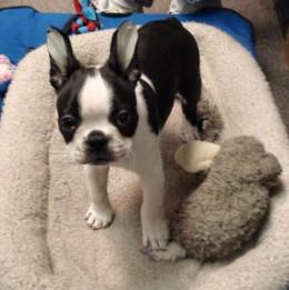 Booker (Boston Terrier)